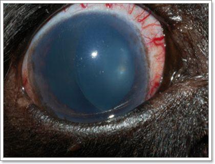 Dogilike.com :: จะเกิดอะไรขึ้น ถ้าน้องหมาป่วยเป็นโรคต้อหิน