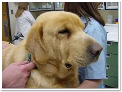 Dogilike.com :: 5 โรคเด่นในน้องหมาพันธุ์โกลเด้นรีทีฟเวอร์ ตอนที่ 1