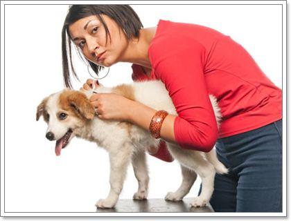 Dogilike.com :: รู้จักไรในหู (Ear mites) ศัตรูตัวสำคัญของสุนัขและแมว