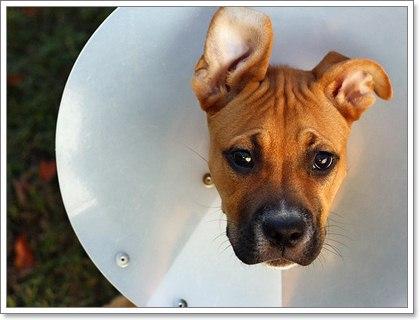 Dogilike.com :: การทำหมันสุนัขเพศผู้โดยไม่ผ่าตัดทำได้จริงหรือ?