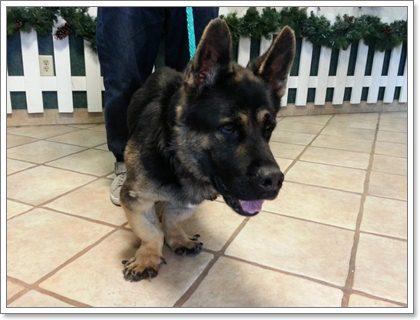 Dogilike.com :: ทำไมน้องหมาบางตัวจึงมีขาสั้น (แคระ)