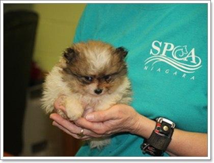 Dogilike.com :: โรคต้องระวัง !! ในสุนัขพันธุ์ปอมเมอเรเนียน ตอนที่ 2
