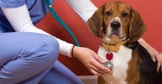 dog close-up, infographic, dog infographic, หมา, สุนัข, พยาธิ, พยาธิหนอนหัวใจ, หัวใจ, โรคหัวใจ,ยุง