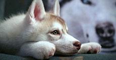 dog close-up, infographic, dog infographic, ���, �عѢ, ��Ҹ�, ��Ҹ�˹����, ����, �ä����,�ا