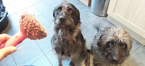 นัองหมา, สุนัข, น่ารัก, การดูแล,เทคนิคการเลี้ยงดู, ลาบราดูเดิ้ล, Labradoodles, แจสเปอร์, เบลีย์, dog of the week 116