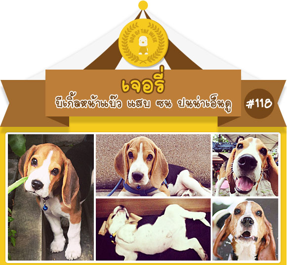 นัองหมา, สุนัข, น่ารัก, การดูแล,เทคนิคการเลี้ยงดู, เจอรี่, หน้าแบ๊ว, แสบ,ซน,   dog of the week 118