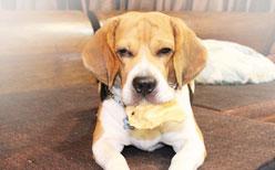 นัองหมา, สุนัข, น่ารัก, การดูแล,เทคนิคการเลี้ยงดู, ตอเรศ, สุดซ่า, รูปหล่อ, then&now, pedigree, เพดดิกรี, dog of the week 129