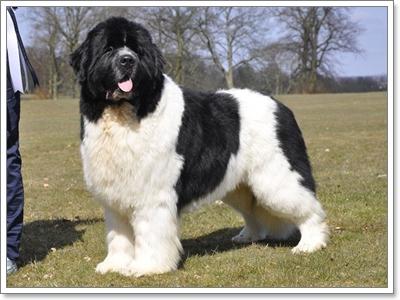 Dogilike.com :: เช็กราคา! 7 น้องหมาสายพันธุ์ยักษ์ใหญ่สุดฮิตในไทยตอนนี้