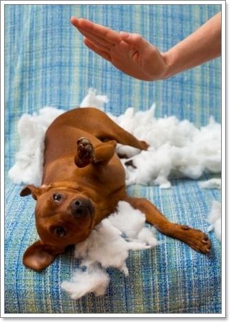 Dogilike.com ::  เคล็ด (ไม่) ลับ การฝึกสุนัขไม่ให้ขึ้นโซฟา