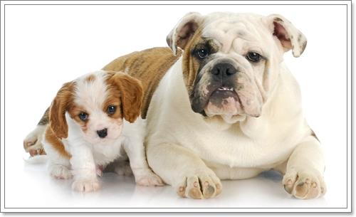 Dogilike.com ::  ความจริงที่คาดไม่ถึง! ของลูกสุนัขต่างไซส์วัยเดียวกัน