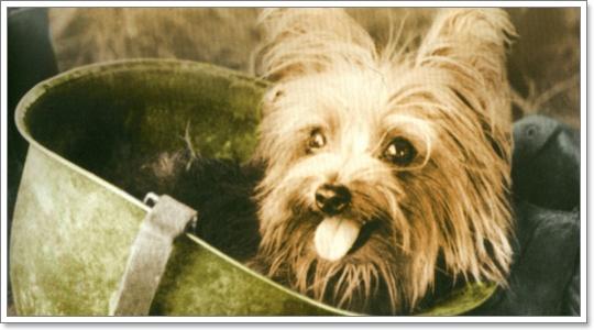 Dogilike.com :: 'สโมคกี้' สุนัขบำบัดตัวแรกของโลก ผ่านศึกกว่า 150 สนามรบ