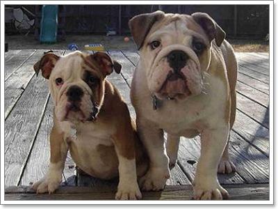 Dogilike.com :: วัดดีกรี! อิงลิช บูลด็อก กับ เฟรนช์ บูลด็อก ใครฮากว่ากัน