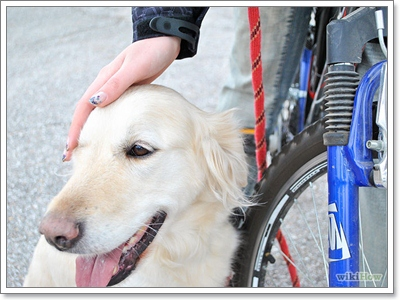Dogilike.com :: เทคนิคง่ายๆ จูงน้องหมาให้วิ่งคู่ไปกับจักรยานแบบไม่มีล้ม