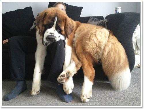 Dogilike.com :: 12 ภาพที่ยืนยันว่า สุนัขพันธุ์ใหญ่ก็ขี้อ้อน น่ารักไม่แพ้สุนัขพันธุ์เล็ก