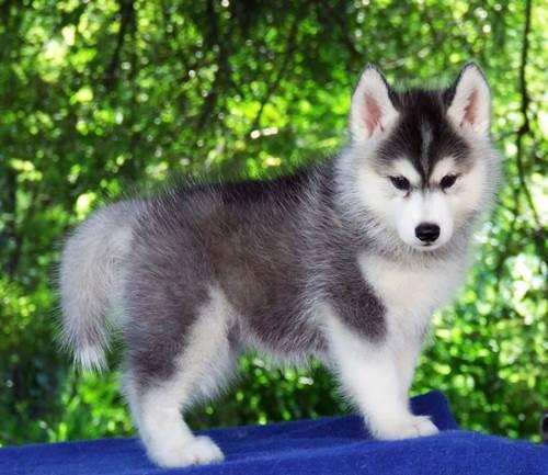 Dogilike.com :: ALL BEST KENNEL ศูนย์รวมไซบีเรียน ฮัสกี้ ที่ใหญ่ที่สุด !