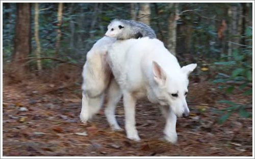 Dogilike.com :: สุดน่ารัก! เจ้าตูบรับเลี้ยงโอพอสซัมกำพร้า ตามเกาะหลังตั้งแต่เล็กจนโต