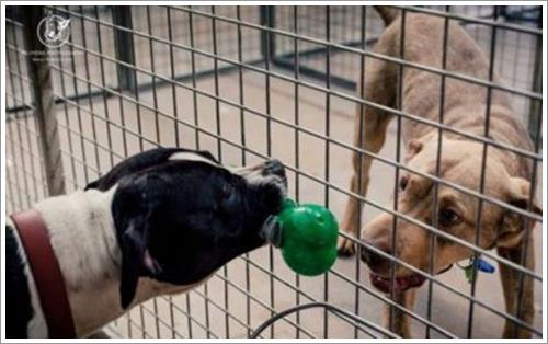Dogilike.com :: ภาพซึ้ง! สุนัขในศูนย์พักพิงฯแบ่งของเล่นให้เพื่อนตููบ ก่อนถูกการรุณยฆาต