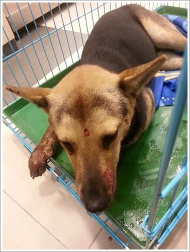 Dogilike.com :: ชาวเน็ตฮ่องกงระดมเงินช่วยชีวิตสุนัขจรจัด หลังถูกทุบตีบาดเจ็บสาหัส!