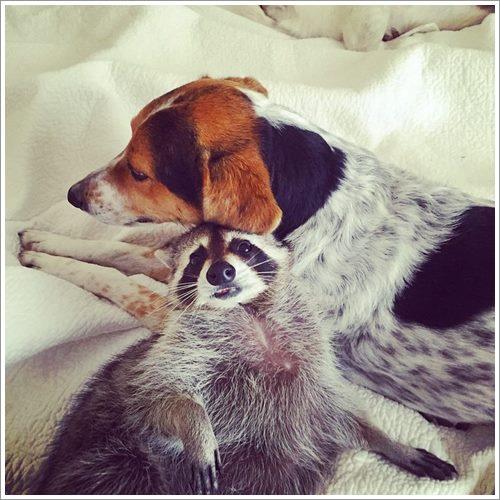 Dogilike.com :: น่ารักสุดๆ! เมื่อแรคคูนถูกรับเลี้ยง และมันคิดว่าตัวเองเป็นสุนัข