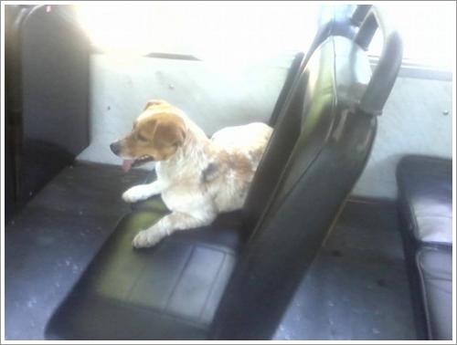 Dogilike.com :: ชาวเน็ตเร่งหา! เจ้าตูบหลงทางขึ้นรถโดยสารรถประจำทางในอาร์เจนตินาระจำทาง