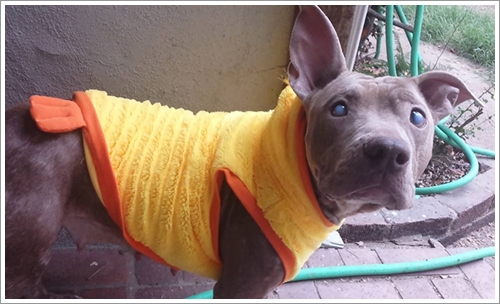Dogilike.com :: เศร้า! พบพิทบูลฯ ตาบอดเพิ่งออกลูก ถูกทิ้งนั่งตัวสั่นในสวนสาธารณะ