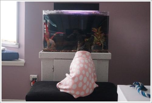 Dogilike.com :: น่ารักสุดๆ! เจ้า Sophie เฟรนช์บูลด็อกสุดน่ารักผู้ตกหลุมรักตู้ปลา