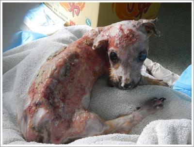 Dogilike.com :: เจ้าของชาวจีนไม่พอใจลูกหมาแทะโทรศัพท์ ราดน้ำร้อนก่อนโยนทิ้งดิ่งจากตึก !