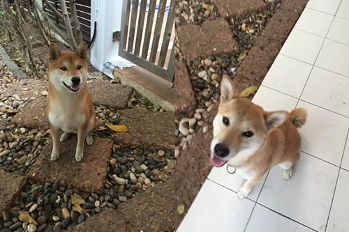 Dogilike.com :: สนใจ ลูกสุนัขพันธุ์ชิบะแท้จากญี่ปุ่น เชิญทางนี้จ้า!!