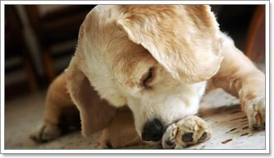 Dogilike.com :: เมื่อเจ้าตูบแพ้โปรตีน จะสามารถกินอะไรแทนได้บ้างนะ?