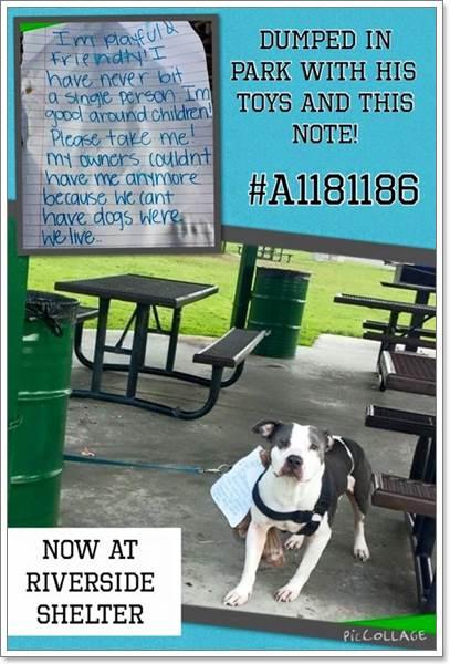 Dogilike.com :: สุดเศร้า! พบพิทบูลฯ ถูกทิ้งพร้อมของเล่นและจดหมายจากเจ้าของ