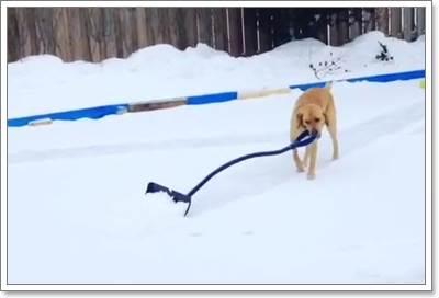 Dogilike.com :: ลีลาเด็ด! คลิปลาบราดอร์สุดฉลาดช่วยเจ้าของกวาดหิมะ