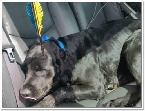 Dogilike.com :: ปาฏิหาริย์! สุนัขรอดตายหลังถูกลูกดอกปักศีรษะนาน 2 วัน