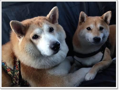 Dogilike.com ::  เมื่อชิบะอ้วนเป็นหมู เจ้าของก็เลยจับรีดน้ำหนักจนเป็นแบบนี้ ...