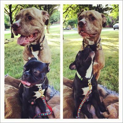 Dogilike.com :: เจ้า Fifty พิทบูลพิการ 2 ขา ผู้ขโมยหัวใจคนรักสุนัขไปทั่วโลก !