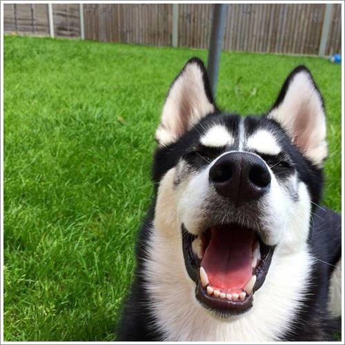 Dogilike.com :: ฮาสุดๆ! มาดูสีหน้าไซบีเรียน เมื่อถูกเจ้าของหลอกว่า จะปาบอลให้กัน