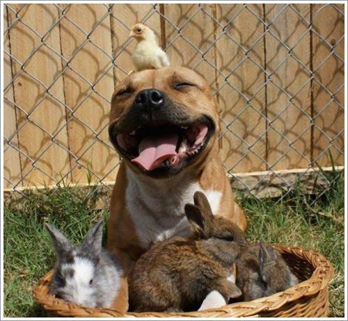 Dogilike.com :: 20 ภาพถ่ายมุมแบ๊ว ๆ ของพิทบูล เทอร์เรีย ที่จะทำให้คุณตกหลุมรัก !
