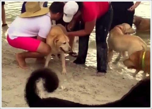 Dogilike.com :: นาทีระทึก! คลิปพลเมืองดี CPR ช่วยชีวิตลาบราดอร์จมน้ำ