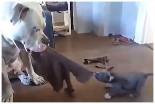 Dogilike.com :: สุดน่ารัก! คลิปอเมริกัน บูลลี่ ตัวน้อย เล่นชักเย่อกับพี่ชายตัวโต
