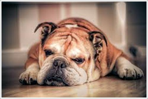 Dogilike.com :: 10 อันดับสายพันธุ์สุนัขที่มีราคาแพงที่สุดในโลก !!