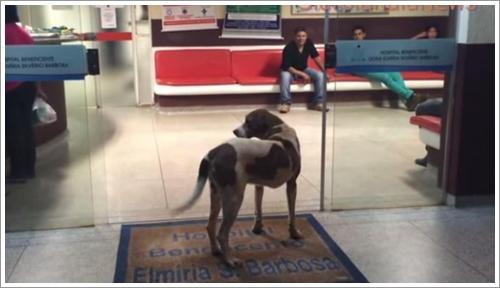 Dogilike.com :: น้ำตาซึม! สุนัขซื่อสัตย์เฝ้ารอคุณยายป่วยหนักหน้าโรงพยาบาล