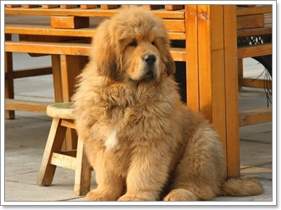 Dogilike.com :: รวมภาพน้องหมาทิเบตัน น้องหมาค่าตัวแพงที่สุดในโลก