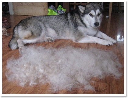 Dogilike.com :: 5 โรคสำคัญในสุนัขพันธุ์อลาสกัน มาลามิวท์ ที่ผู้เลี้ยงต้องรู้!!