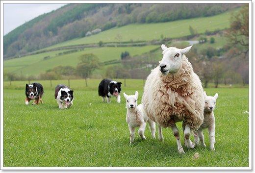 Dogilike.com :: พาทัวร์ฟาร์มที่อังกฤษ ไอร์แลนด์ นิวซีแลนด์ ดูโชว์น้องหมาต้อนแกะ