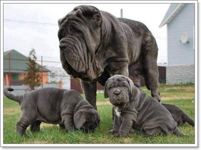 Dogilike.com :: 10 สายพันธุ์น้องหมาหน้าแปลก ไม่ฮิตเลี้ยงแต่ราคาแพงเวอร์!