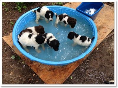 Dogilike.com :: 7 สายพันธุ์น้องหมาชอบแช่น้ำมากที่สุด