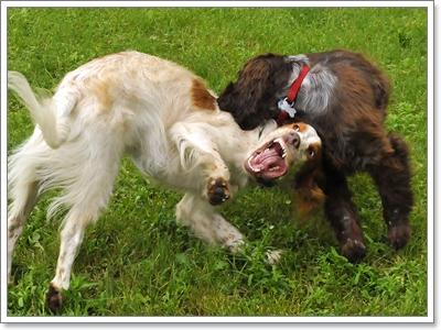 Dogilike.com :: น้องหมากัดกัน แยกอย่างไร ไม่ให้เราเจ็บตัว!
