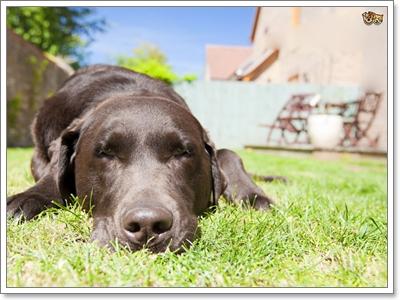 Dogilike.com :: 6 สัญญาณอันตรายที่บอกว่าน้องหมาทนร้อนไม่ไหวแล้ว