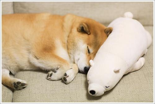 Dogilike.com :: น่ารักอ้ะ! Marutaro ชิบะสุดแบ๊วนอนเมื่อไหร่ ต้องมีตุ๊กตาหมีขาวอยู่ข้าง ๆ