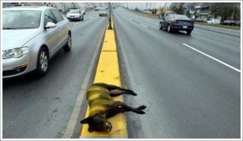 Dogilike.com :: ชาวเน็ตประณาม! คนใจร้ายทิ้งศพสุนัข ถูกพ่นสีบนเกาะกลางถนน