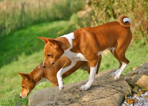 Dogilike.com :: สืบประวัติ บาเซ็นจิ สายพันธุ์สุนัขที่ในหลวง ร.9 ทรงสนพระทัย